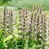 Outsidepride Acanthus Hungaricus Bear's Breeches Flower Seeds - 20 Seeds