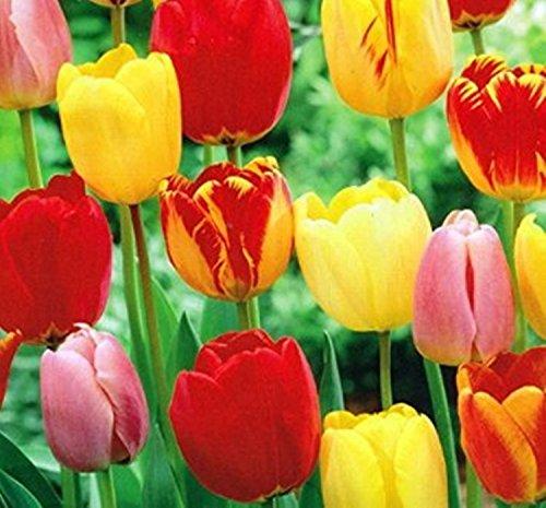 SILKSART 10 Mixed Colors Tulip Bulbs early bloom Perennial Bulbs for Garden Planting Beautiful Flower--SHIPPING (Mixed Colors Flower Bulbs)