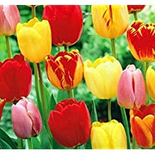 10 Mixed Colors Tulip Bulbs - Freshly Imported from Holland