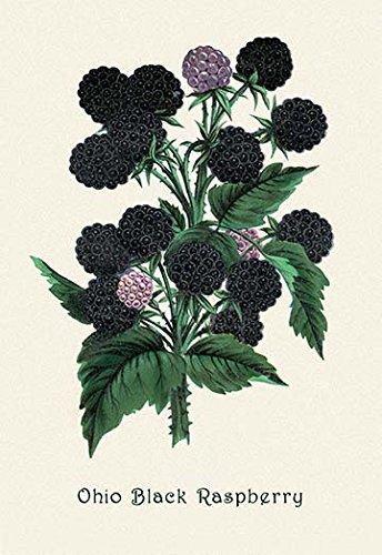 Buyenlarge 0-587-04175-7-P1827 Ohio Black Raspberry Paper Poster, 18