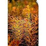 Canvas on Demand Wall Peel Wall Art Print Entitled Fireweed with Autumn Colors, Kodiak Island, Southwest Alaska 40''x60''