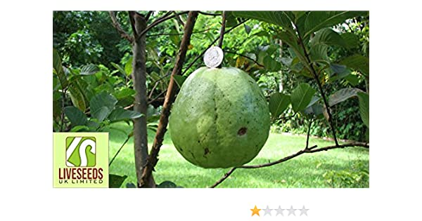 Giant 1kg Rare World Biggest guava sweet white//Yellow Finest 5 Seeds