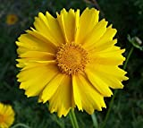 Lance Leaved Coreopsis Perennial - 100 Seeds, 400 mg