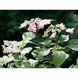 アジサイ(紫陽花) アマチャ(甘茶) 茶庭 植木 苗木 落葉低木