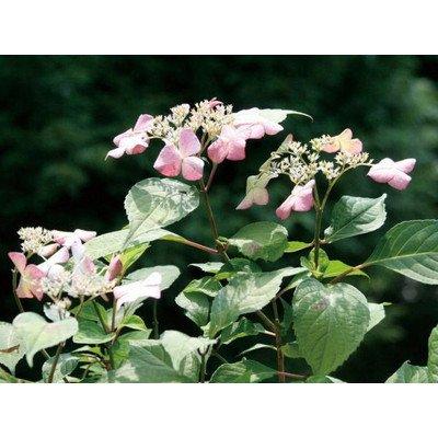アジサイ(紫陽花) アマチャ(甘茶) 茶庭 植木 苗木 落葉低木 B00SR491AQ