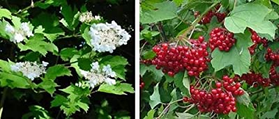 cranberry, HIGHBUSH CRANBERRY, viburnum opulus, 40 seeds