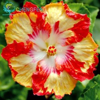 100 graines Pcs géant Hibiscus Fleur, rares SeedsAndPlants Fleur ...