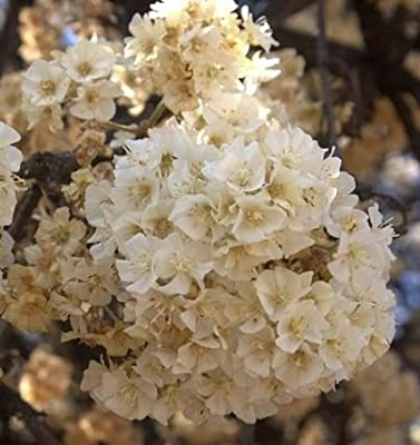 Dombeya rotundifolia - Wild Pear - 10 seeds