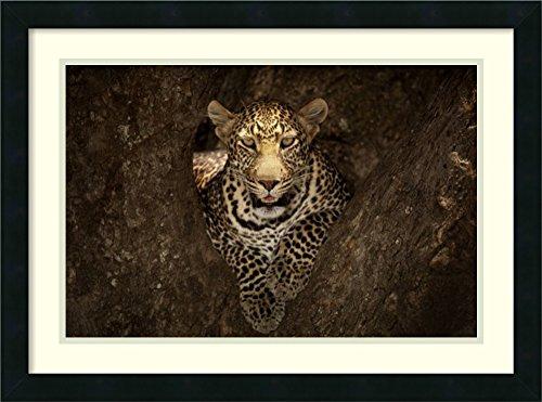 Framed Wall Art Print Leopard Resting on a Tree at Masai Mara by Ozkan Ozmen Photography 26.00 x 19.38