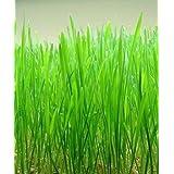 500 CAT GRASS WHEAT GRASS Triticum Aestivum Seed