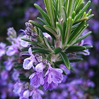 Rosemary Seeds (Rosmarinus officinalis) 20+ Culinary Medicinal Herb Seeds in FROZEN SEED CAPSULES for the Gardener & Rare Seeds Collector - Plant Seeds Now or Save Seeds for Years