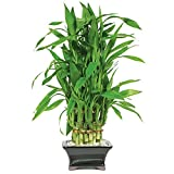 Brussel's Lucky Bamboo Pyramid - 3 Layer - Small - (Indoor)