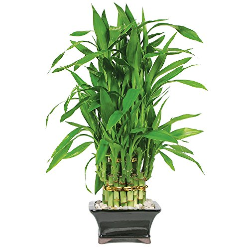 Brussel's Lucky Bamboo Pyramid - 3 Layer - Small - (Indoor) Lucky Bamboo Container