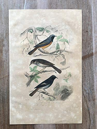 - 1870 Bird Original Antique Engraving, Hand Colored Engraving, Bird Engraving, Vintage Bird, Antique Nightingale Print, Nightingale Wall Art