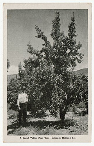A Grand Valley Pear Tree, Colorado Midland Ry Vintage Original Postcard #0155-1960's ()