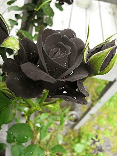 Rare Grafted Exotic Black Rose Flower 1 Healthy Live Plant