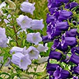 2018 Hot Sale Rare Light Dark Purple Campanula Bellflower Flowers, 50 Seeds, Canterbury Bell Bluebell Light up Your Garden E3643