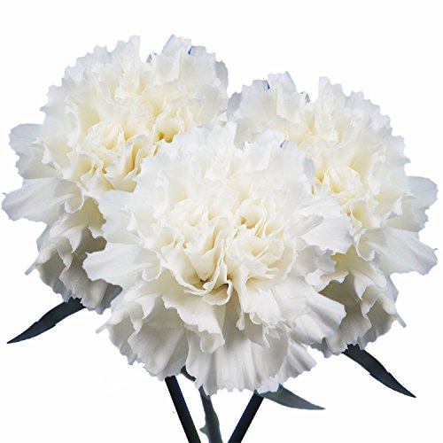 GlobalRose 100 Fresh Cut White Carnations - Fresh Flowers For Birthdays, Weddings or Anniversary. by GlobalRose