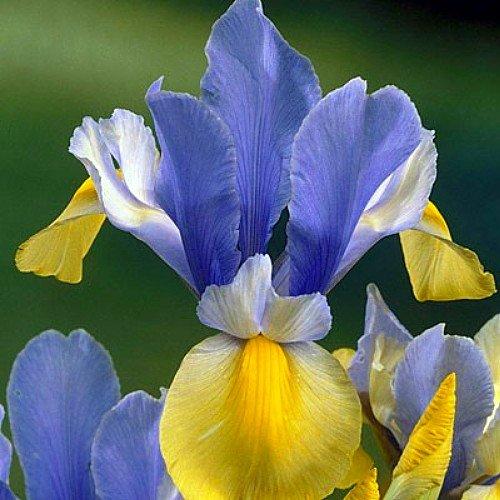 'Oriental Beauty' Dutch Iris 20 Bulbs -Truly Royal! - 8/9 cm Bulbs for sale