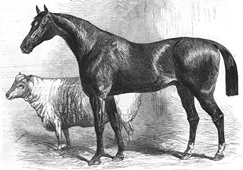PRIZE BULLS. Hereford bull; Ryeland Ram; Royal farm Society Worcester - 1863 - old antique vintage print - engraving art picture prints of Herefordshire Cows - The Illustrated London News