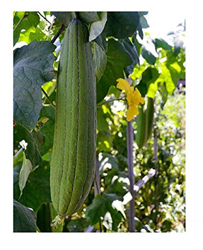 - David's Garden Seeds Gourd Luffa SL7544 (Sponge) (Green) 50 Non-GMO, Heirloom Seeds