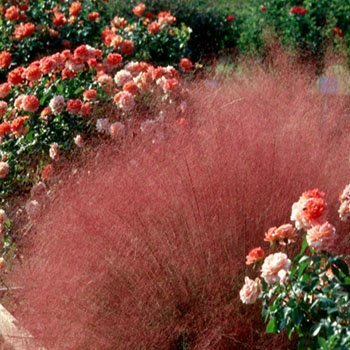Ruby Grass - Outsidepride Ruby Muhly Grass - 100 Seeds