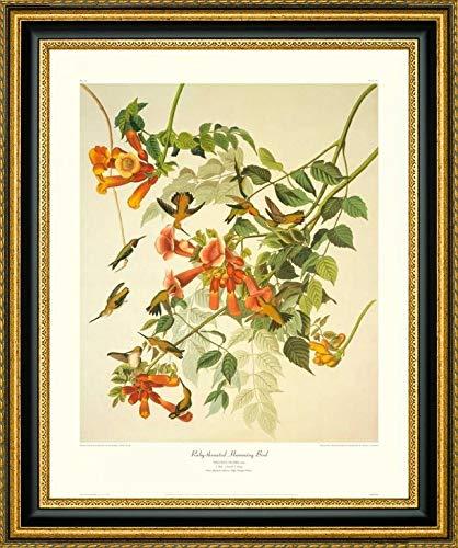 Ruby-Throated Hummingbird (Decorative Border) by John James Audubon - 20.25