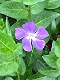 VINCA MAJOR 25 groundcover vines, periwinkle, myrtle shipped bare root