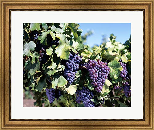 Close-up of Cabernet Grapes, Nuriootpa, Barossa Valley, Adelaide, South Australia, Australia Framed Art Print Wall Picture, Wide Gold Frame, 28 x 24 inches
