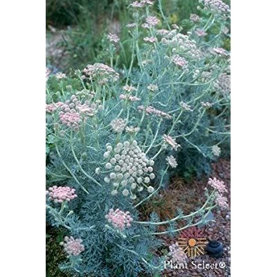 Seseli gumniferum Moon Carrot 250 seeds: Home & Kitchen