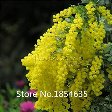 Amazon garden plant 100 pcs mimosa seed acacia yellow tree garden plant 100 pcs mimosa seed acacia yellow tree flower seeds bonsai seed mightylinksfo