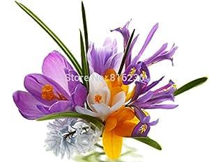 semillas de azafrán, semillas en macetas, semillas de flor de azafrán, la variedad completa, las tasas de 99% en ciernes colores mezclados - 50 PC / bolso