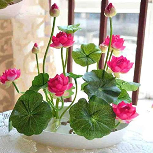 Hottest! 5pcs/Pack Bowl Lotus Seed hydroponic Plants Aquatic Plants Flower Seeds Pot Water Lily Seeds Bonsai ()