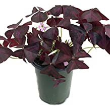 "Rare 'Purple Rain' Shamrock Plant - Easy Houseplant - Oxalis - 4"" Pot"