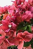 Sundown Orange, Bougainvillea Plant (flowers, hanging basket, bush, trellis, patio tree, vine) (5 Gal Trellis)
