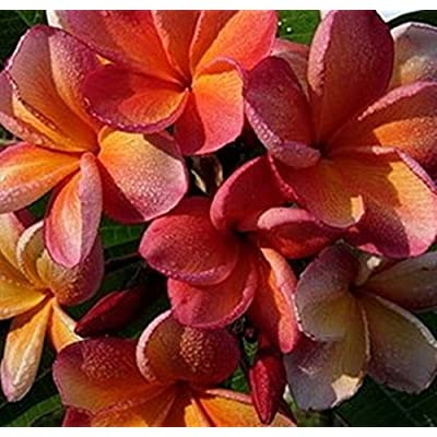 "Penang Peach"" Fragrant PLUMERIA'S Cutting with Rooted 7-12 INCH Registered Mail Track Online 100% Guarantee SATISFICATION : Garden & Outdoor,"