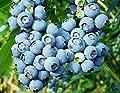 50 Northern Highbush Blueberry Bush Fruit Seeds Pre Stratified