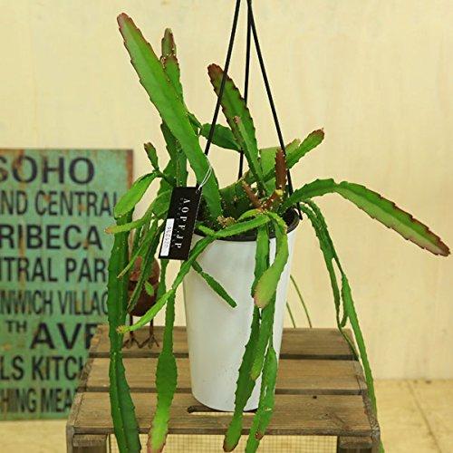 観葉植物:エピフィラム アケルマニー*吊り鉢 白ポット付き B06X6MH237