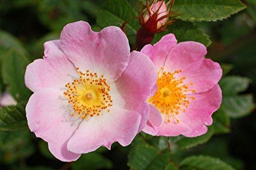 (Dog Rose (Rosa Canina) - Rose Hips 50 +extra seeds)