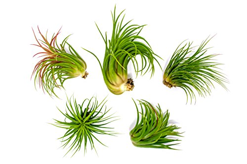 5 Large Ionantha Tillandsia Air Plant Pack - Each 2 to 3.5 Inches Long - Live Tropical House Plants for Home Decor - Indoor Terrarium Air Plants (Flowers Sale Glass For Garden)