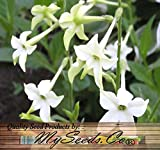 400 FRAGRANT NICOTIANA Flower Seeds FLOWERING TOBACCO HEAVENLY PERFUME FRAGRANCE