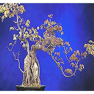 Trident Maple Seeds : Garden & Outdoor