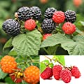 Portal Cool Red: 50 Nutritious Giant Thornless Black Red Yellow Raspberry Seeds Antioxidant Fiber