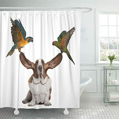 Emvency Shower Curtain 72x72 Inch Home Postcard Decor Bleu Throated Macaw and Golden Capped Parakeet Pulling Up The Ears of Basset Hound Shower Hook Set are Included - Parakeet Orange Sticks