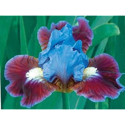 Bearded Iris Assorted Colors Elegant Mix, Root, Bulb, Plant. Flowering Rhizome, SeedsBulbsPlants&More : Garden & Outdoor