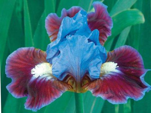 Rhizomes Iris - Bearded Iris Assorted Colors Elegant Mix, Root, Bulb, Plant. Flowering Rhizome, SeedsBulbsPlants&More