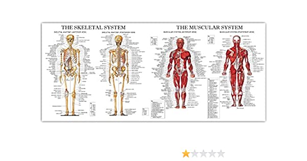 The Muscular and Skeletal System Large Chart Diagram Poster: Amazon ...