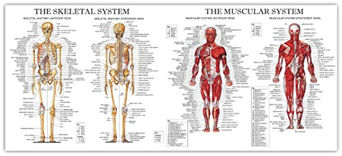 The muscular and skeletal system large chart diagram poster amazon the muscular and skeletal system large chart diagram poster ccuart Image collections