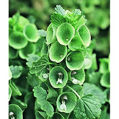 Bells of Ireland 150+ seeds Shell Flower Moluccella laevis easy grow CombSH I37 : Garden & Outdoor [5Bkhe0806362]