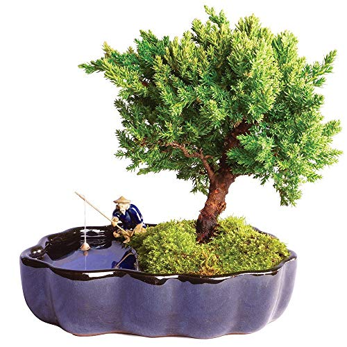 Brussel's Bonsai Live Green Mound Juniper Outdoor Bonsai Tree in Zen Reflections Pot - 3 Years Old; 6